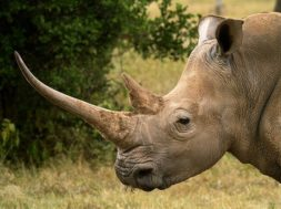 China ha legalizado el hueso de tigre y el cuerno de rinoceronte con fines médicos.