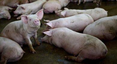 porcinos