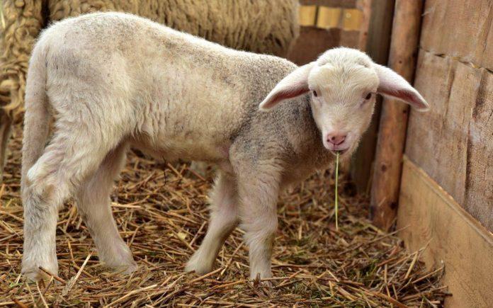 La Junta de Andalucía comienza a distribuir 6,7 millones de dosis de vacunas para proteger al ganado frente a la lengua azul